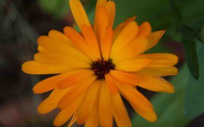 Oktober: Ringelblume