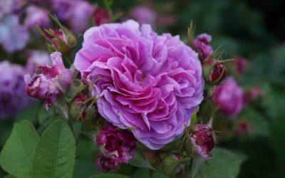 August: Rose